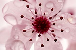 fleurcerisierjaponais3836f